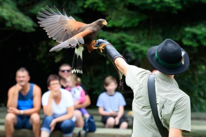 Harris Hawk bei der Greifvogelschau