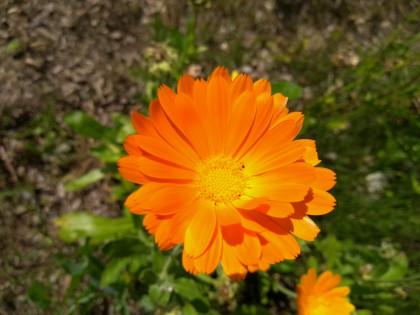 Ringelblume- Calendula officinalis