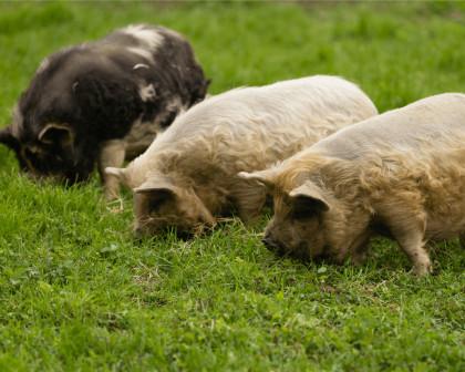 Kune Kune Schweine