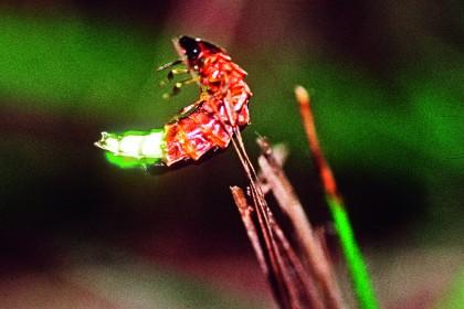 Kleiner Leuchtkäfer