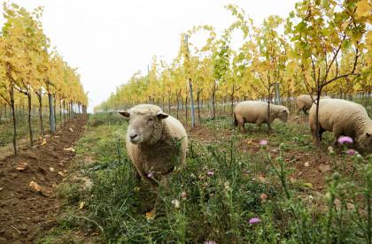 tierische Unterstützung im Weingarten