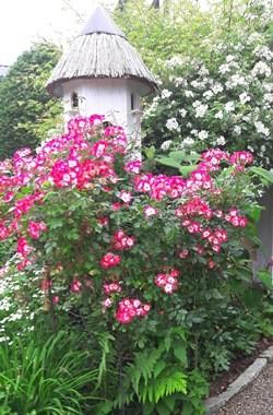 Rosenblüte im Schaugarten