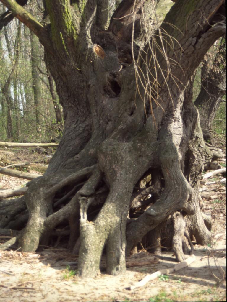 Aufwaldbäume