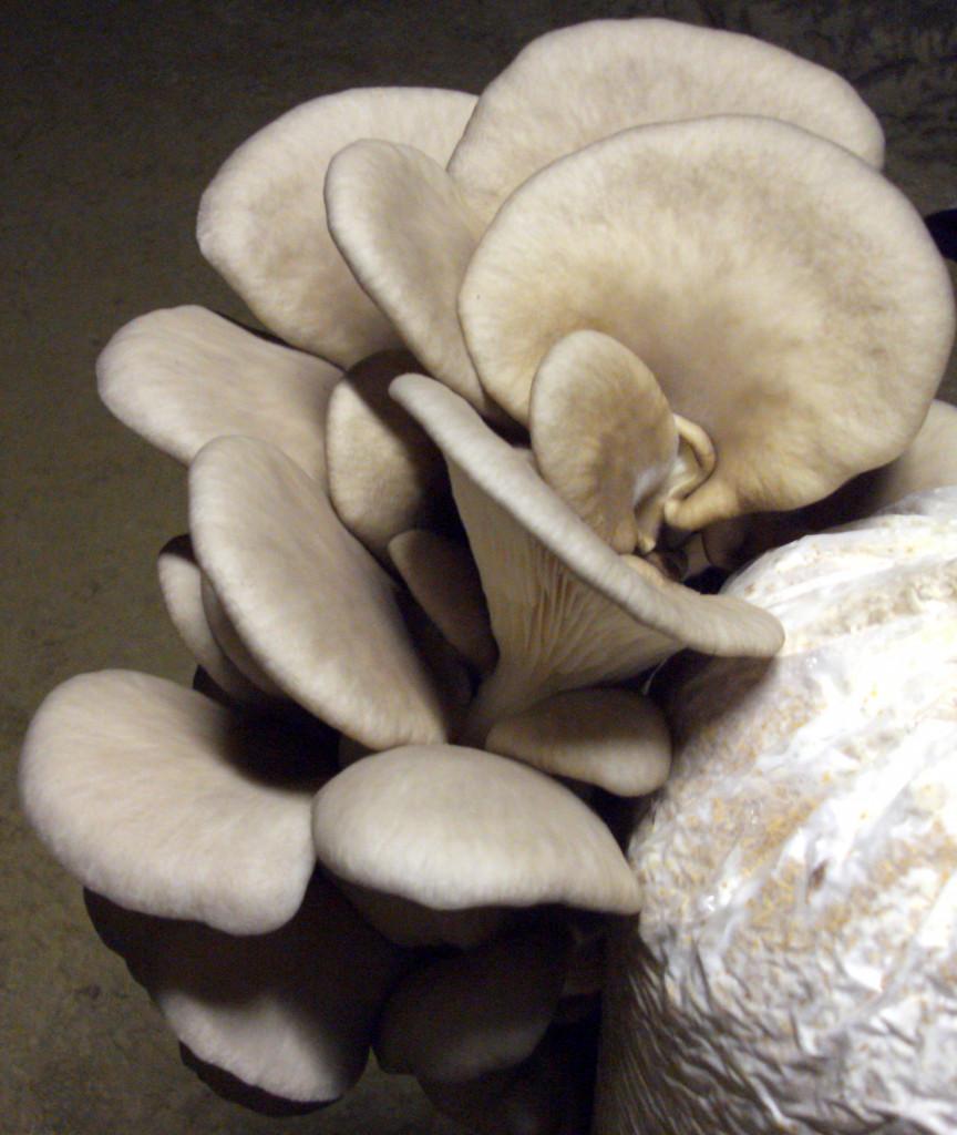 Austernpilz