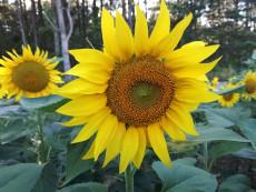 Sonnenblume Bauernmarkt