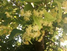 Lindenblüten, Tulln, Kräuter Barfuß Wanderung