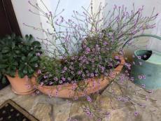 Wildblumen für Balkon und Terrasse