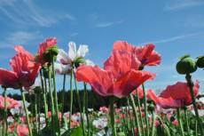 Erlebnis der Mohnblüte zeitig am Morgen